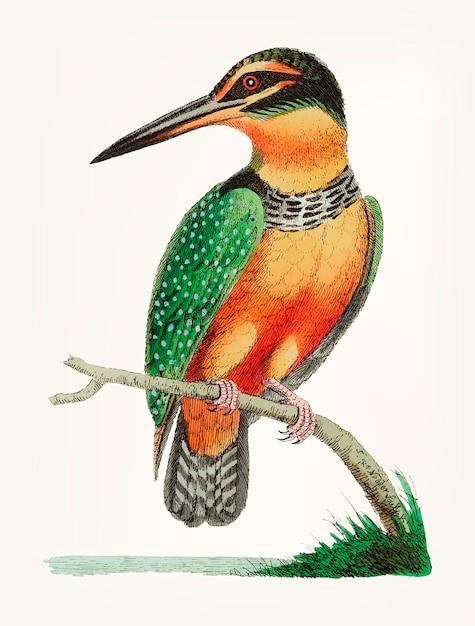 Disegnato a mano del martin pescatore Vettore gratuito