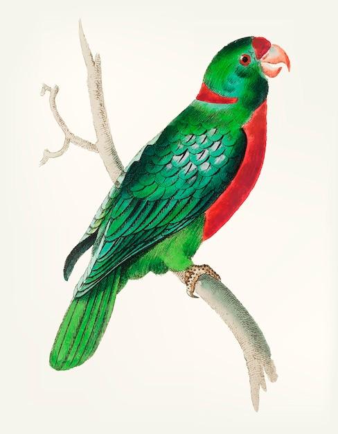 Disegnato a mano del parrocchetto verde dalla coda corta Vettore gratuito