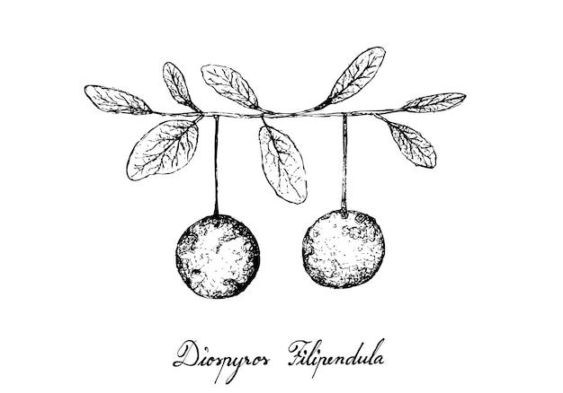 Disegnato a mano di frutta di diospyros filipendula Vettore Premium