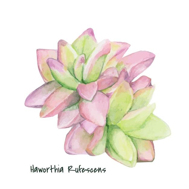 Disegnato a mano haworthia rufescens succulento Vettore gratuito