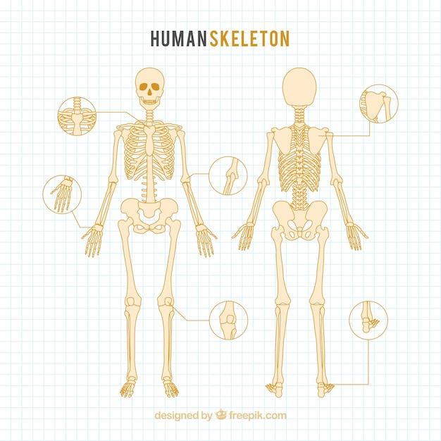 Disegnato scheletro umano a mano Vettore gratuito