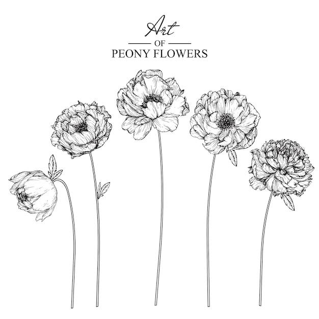 Disegni di foglie e fiori di peonia. illustrazioni botaniche disegnate a mano dell'annata. Vettore Premium
