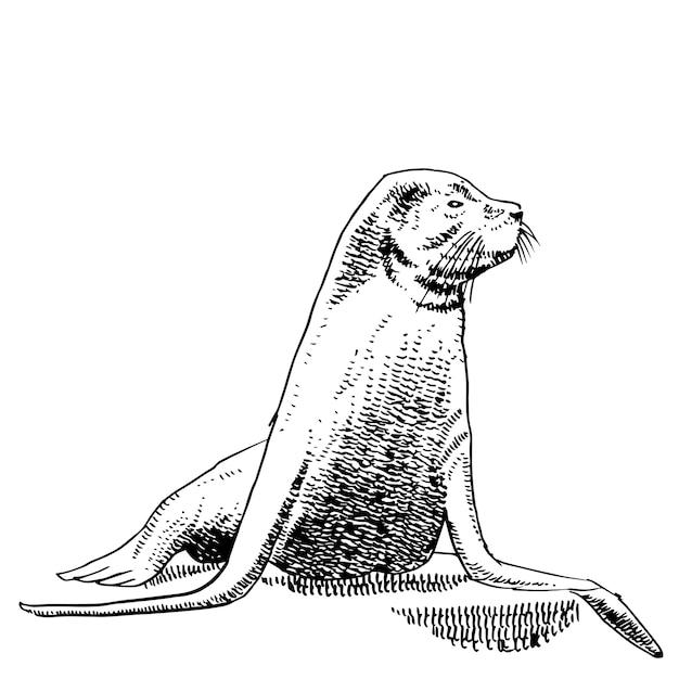 Disegno a mano di leoni marini. Vettore Premium