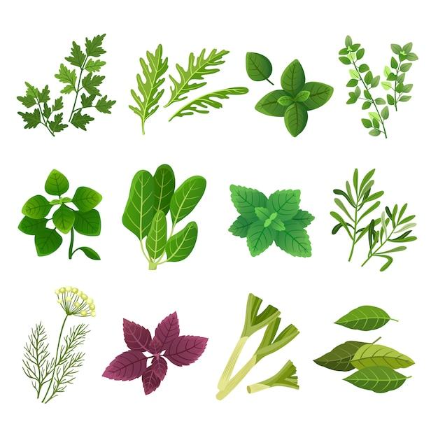 Erbe e spezie. origano basilico verde spinaci menta coriandolo aneto prezzemolo e timo. insieme isolato vettore aromatico dell'erba e della spezia dell'alimento Vettore Premium