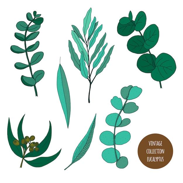 Eucalipto. insieme disegnato a mano di vettore delle piante cosmetiche isolato Vettore Premium