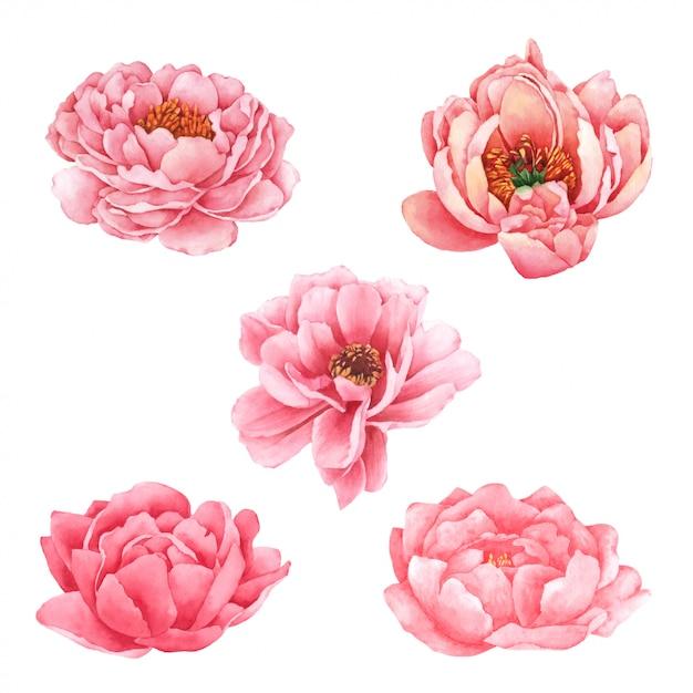 Fiore di peonia dipinto a mano in acquerello Vettore Premium