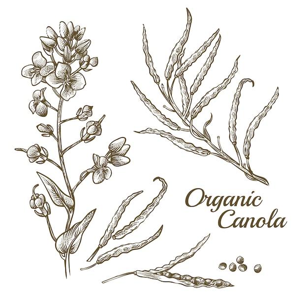 Fiore organico di canola con l'illustrazione del ramo Vettore gratuito