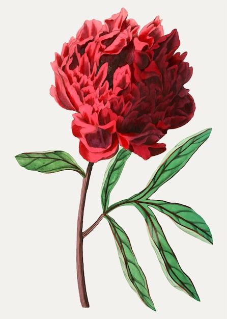 Fiore peonia cinese vintage di pott per decorazione Vettore gratuito