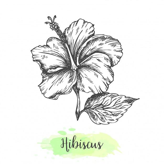 Fiori di ibisco disegnati a mano. illustrazione vettoriale in stile vintage schizzo di fiori tropicali contorno design per tisana bissap karkade Vettore Premium