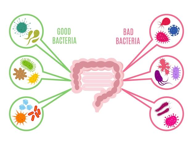 Flora intestinale salute intestinale con batteri e probiotici su bianco Vettore Premium