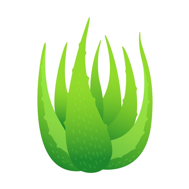 Foglie di aloe vera isolate, clipart della pianta di foglie di aloe vera, aloe vera per prodotti cosmetici crema ingrediente, illustrazione realistica clipart di fattoria piantagione di aloe vera Vettore Premium