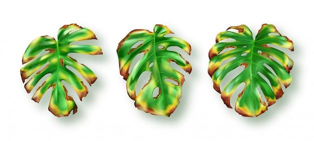 Foglie verdi tropicali di monstera su bianco Vettore gratuito