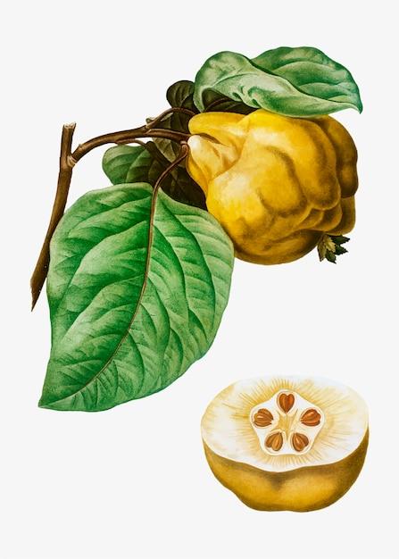 Frutta mela cotogna Vettore gratuito