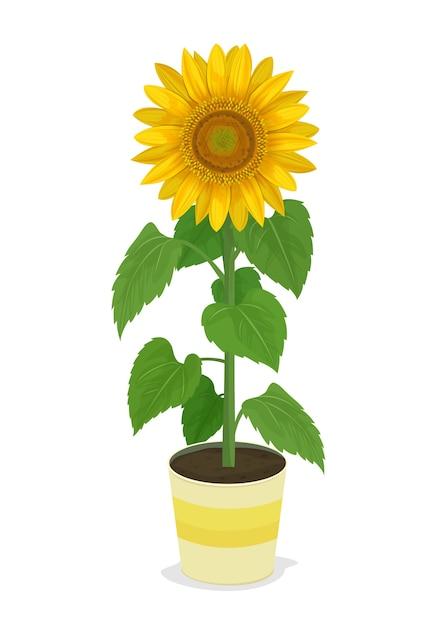 Girasole in piante in vaso. Vettore Premium