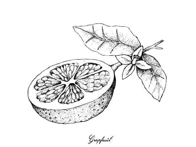 Hand drawn of grapefruit fruit Vettore Premium