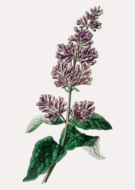 Il ramo di fiori lilla di lady josika vintage per la decorazione Vettore gratuito
