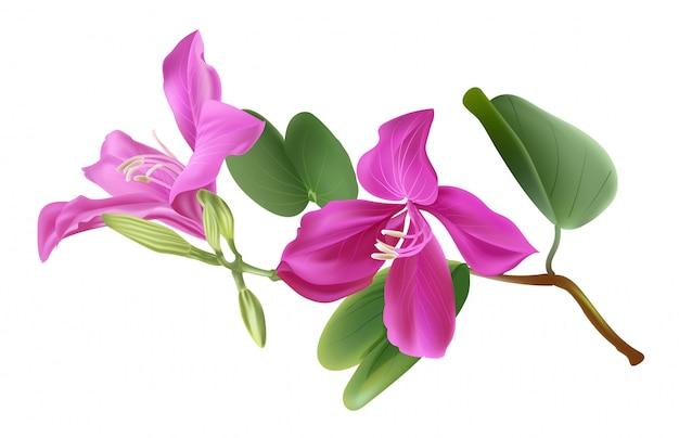 Illstration di vettore del fiore di bauhinia Vettore Premium