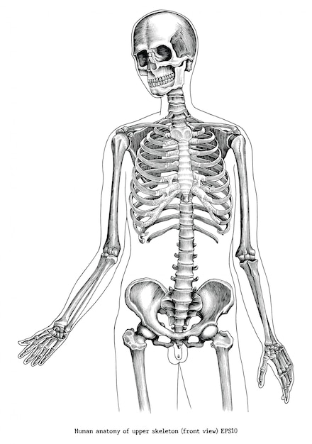 Illustrazione antica dell'incisione di anatomia umana di clipart in bianco e nero dello scheletro superiore (vista frontale) isolata Vettore Premium