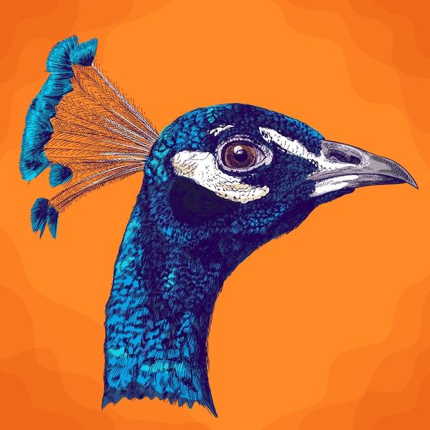 Illustrazione antica incisione della testa di pavone Vettore Premium