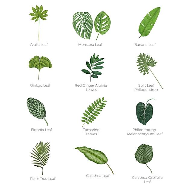 Illustrazione botanica di vettore delle foglie tropicali Vettore Premium