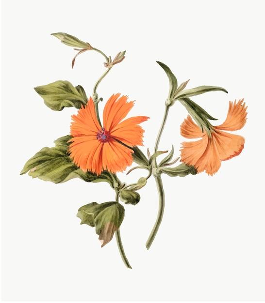 Illustrazione d'epoca di fiori d'arancio Vettore gratuito
