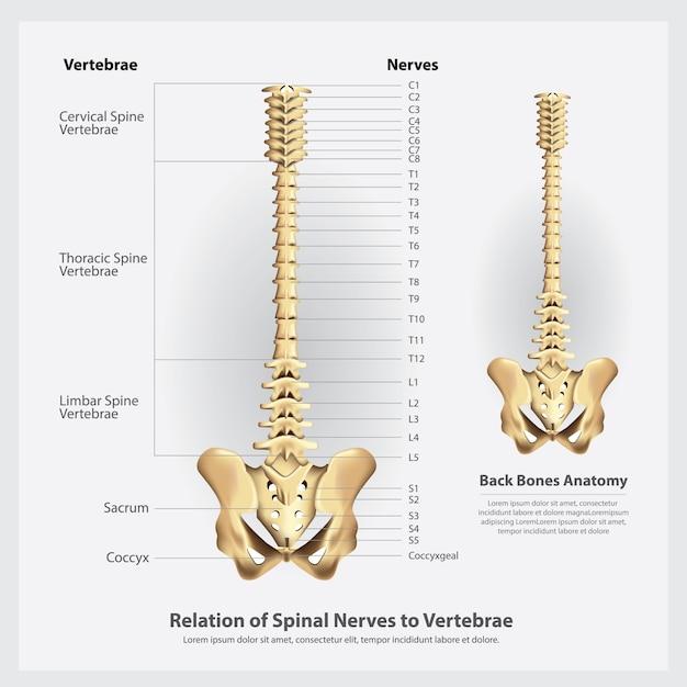 Illustrazione dei segmenti e delle radici dei nervi e delle vertebre spinali Vettore Premium