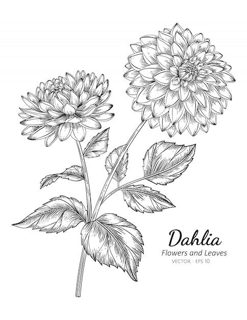 Illustrazione del disegno del fiore della dalia con la linea arte sugli ambiti di provenienza bianchi. Vettore Premium