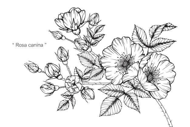 Illustrazione del disegno del fiore delle rose di cane scaricare vettori premium - Belle fleur a dessiner ...