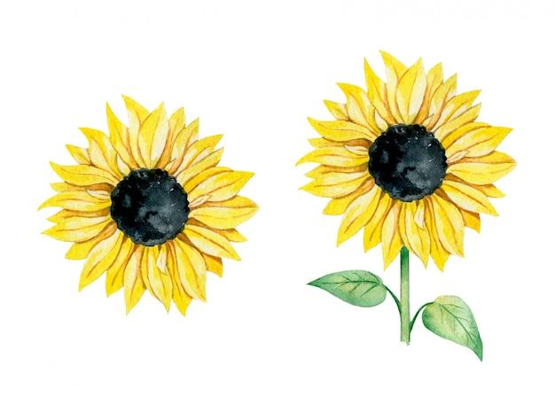 Illustrazione dell'acquerello di un girasole giallo con e senza l'insieme del gambo Vettore Premium