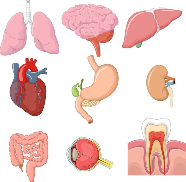 Illustrazione dell'anatomia degli organi interni Vettore Premium