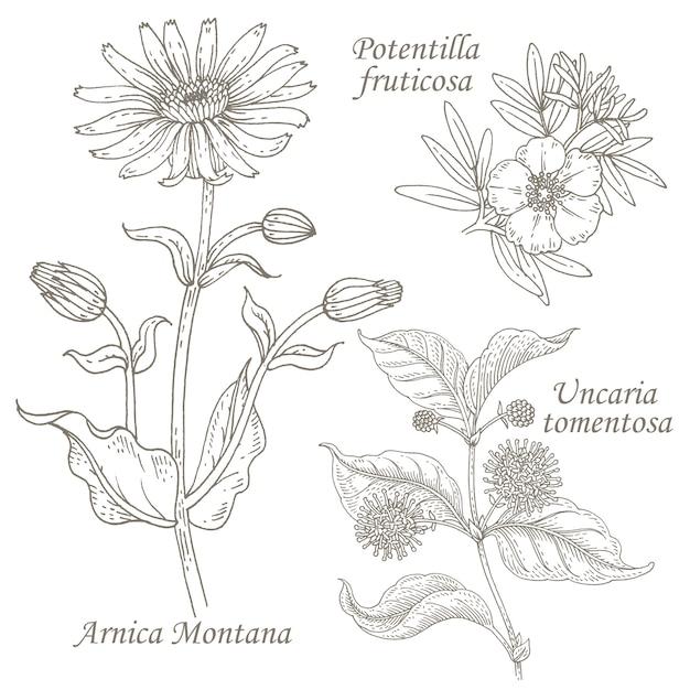 Illustrazione dell'arnica medica delle erbe, potentilla, uncaria. Vettore Premium