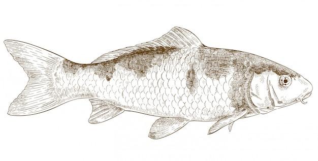 Illustrazione dell'incisione del pesce di koi Vettore Premium