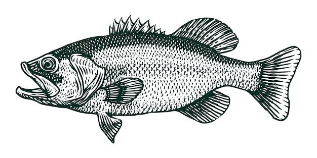 Illustrazione dell'incisione di vettore del pesce spigola Vettore Premium