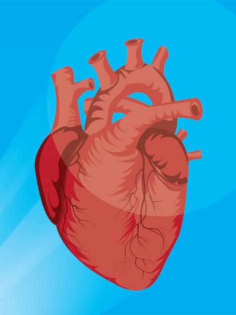 Illustrazione dell'organo cardiaco Vettore Premium