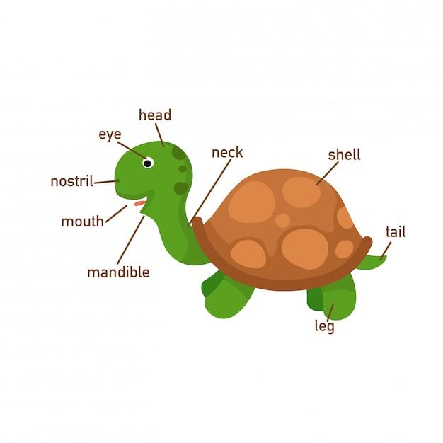 Illustrazione della parte del corpo del vocabolario della tartaruga, scrivi i numeri corretti del corpo parts.vector Vettore Premium