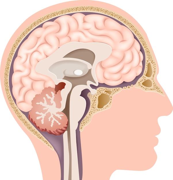 Illustrazione di human internal brain anatomy Vettore Premium