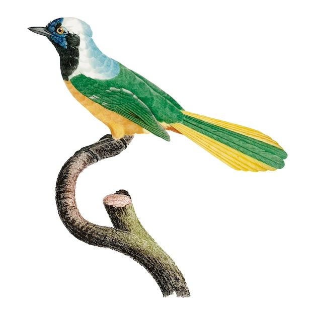 Illustrazione di uccelli d'epoca Vettore gratuito