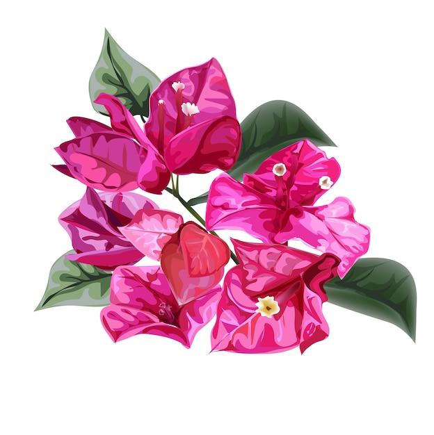 Illustrazione di vettore del fiore di bouganville Vettore Premium