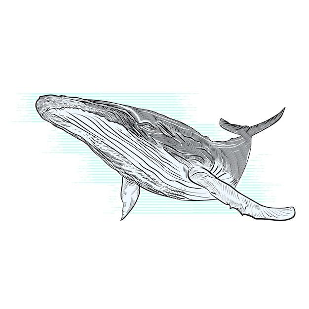 Illustrazione disegnata a mano di vettore della megattera Vettore Premium