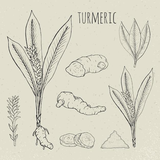 Illustrazione isolata botanica medica della curcuma. pianta, radice mancante, foglie, spezie insieme disegnato a mano. schizzo vintage. Vettore Premium