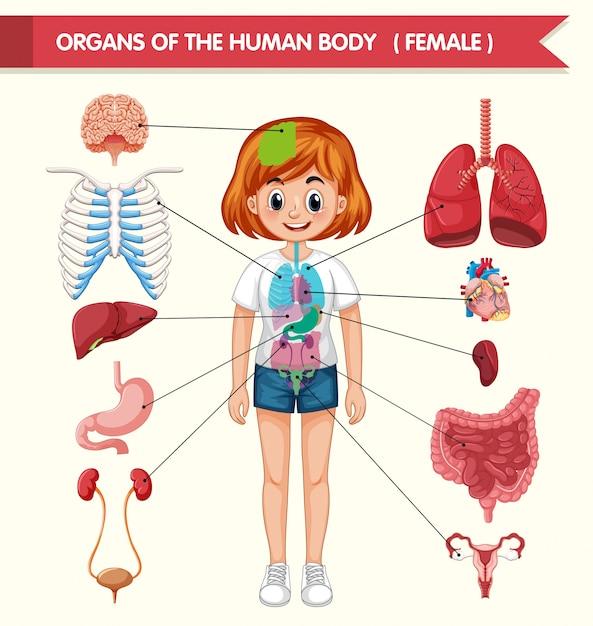 Illustrazione medica scientifica degli organi del corpo umano Vettore gratuito