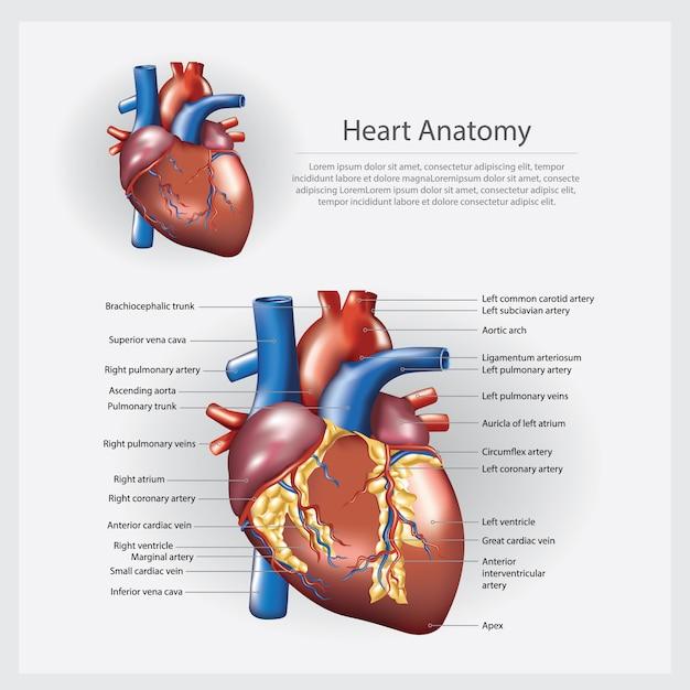 Illustrazione vettoriale di cuore anatomia Vettore Premium