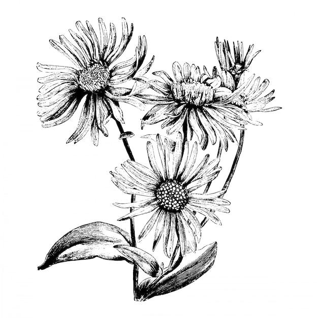Illustrazioni d'annata del fiore di aster amellus bessarabicus dell'incisione Vettore Premium