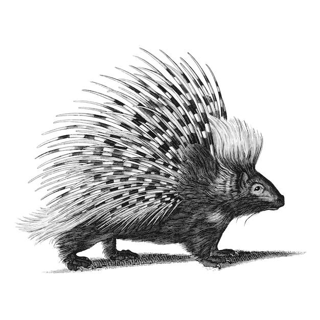 Illustrazioni d'epoca del porcospino Vettore gratuito