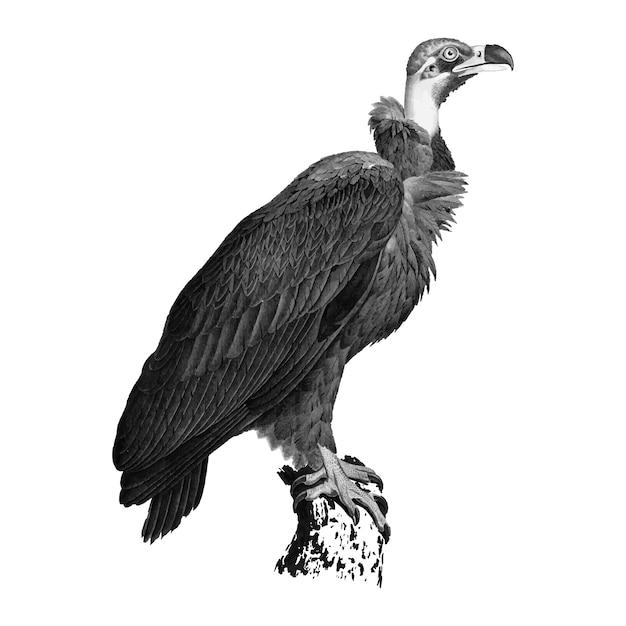 Illustrazioni d'epoca di avvoltoio marrone Vettore gratuito