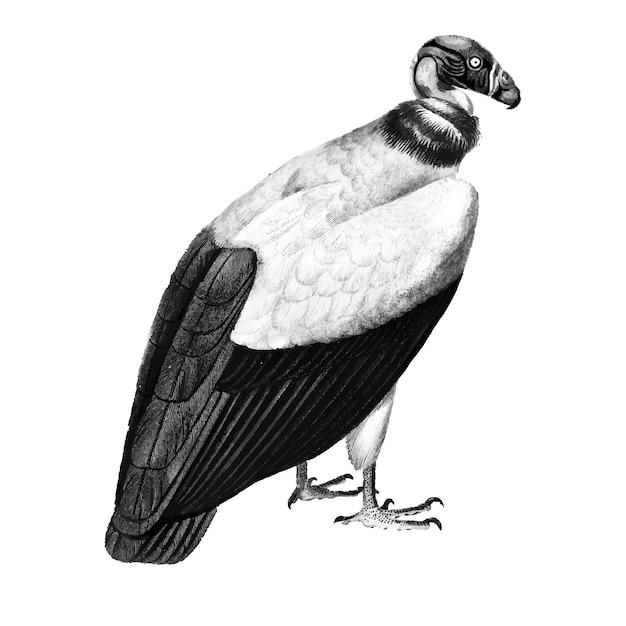 Illustrazioni d'epoca di avvoltoio re Vettore gratuito
