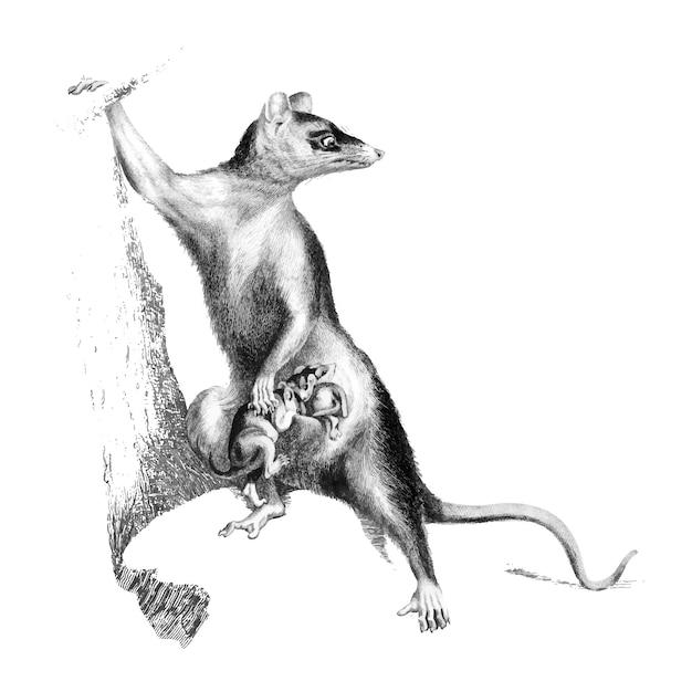 Illustrazioni d'epoca di opossum dalle grandi orecchie Vettore gratuito