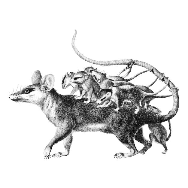 Illustrazioni d'epoca di opossum Vettore gratuito