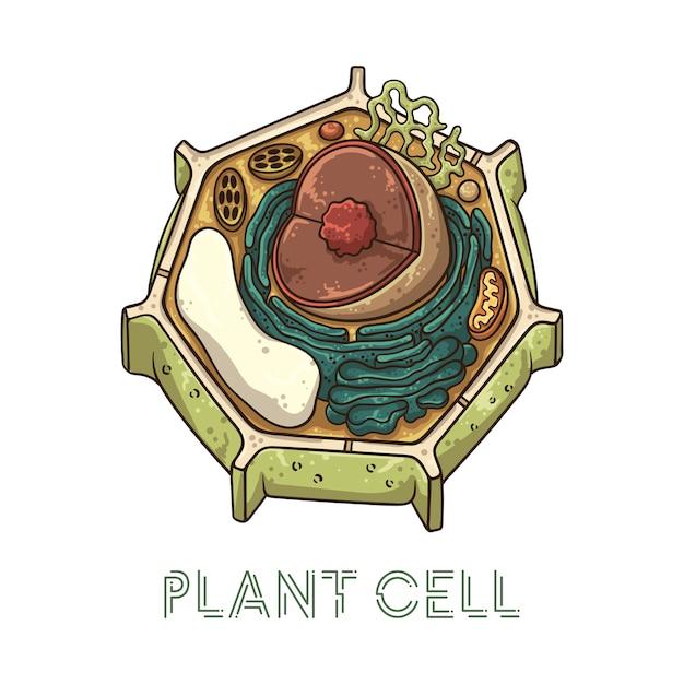 Illustrazioni vettoriali schizzo. struttura schematica della cellula vegetale. Vettore Premium