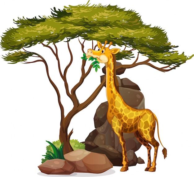 Immagine isolata della giraffa che mangia le foglie Vettore gratuito